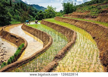 CAT CAT, VIETNAM - JUNE 9, 2011: Vietnamese farmers working in rice field paddy.  Vietnam is now one of top world exporters in rice