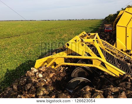 Agricultural vehicle harvesting sugar beets at sunny autumn day. Combine harvesting sugar beets