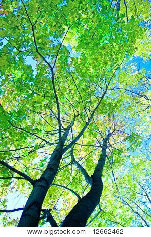 Green trees of summer!