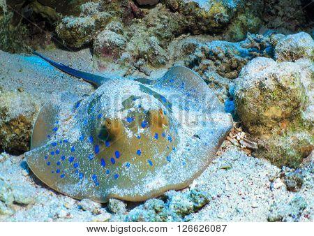 Fish stingray on the sea bed, hiding in ambush.