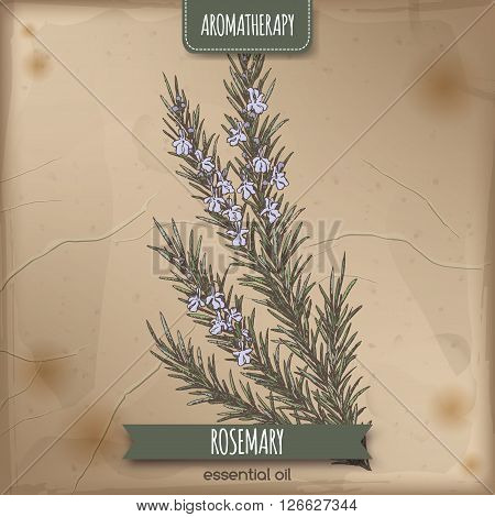 Color Rosmarinus officinalis aka rosemary sketch on vintage paper background. Aromatherapy series. Great for traditional medicine, perfume design, cooking or gardening.