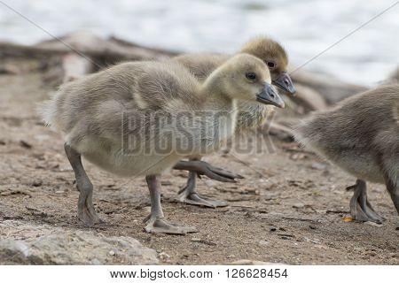 Gray Goose Chicken Of Spring 2016