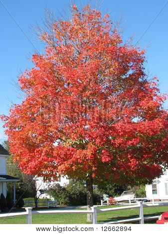 Red Fall Color Tree