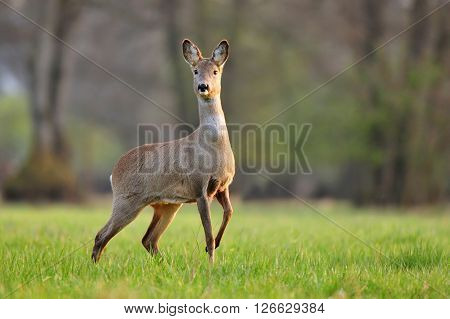 Photo of wild roe deer in a field