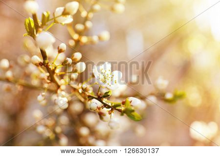 Blooming cherry tree on blurred background