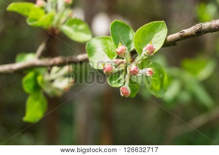 Buds and leaves on apple tree branch