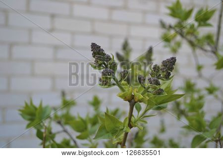 unopened lilac flowers on a background of brick buildings