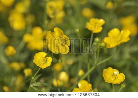 Beautiful yellow buttercups in field at spring