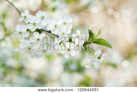 Cherry Spring Blossom