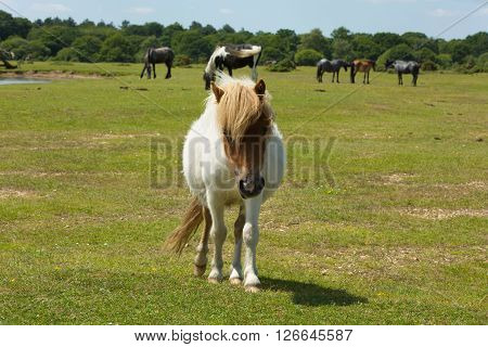 White wild pony with brown face The New Forest Hampshire England UK with ponies in the background