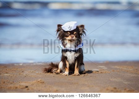 adorable chihuahua dog in a sailor hat on a beach