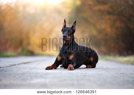 beautiful black doberman dog posing outdoors in summer