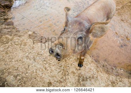 Young Black Iberian pig enjoying a pond Extremadura Spain