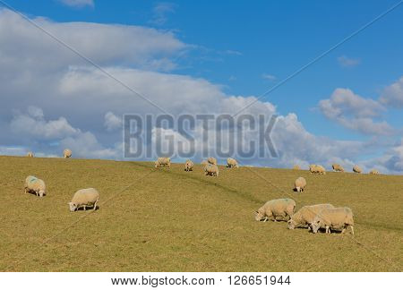 Flock of sheep in a farm field in spring with blue sky