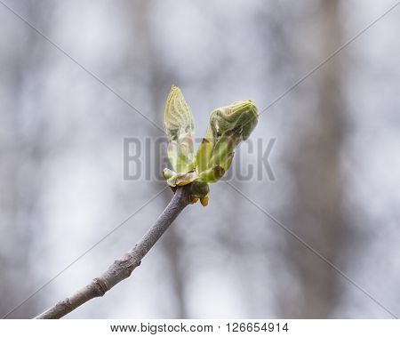 Horse-chestnut aesculus hippocastanum buds on branch with bokeh background macro selective focus shallow DOF