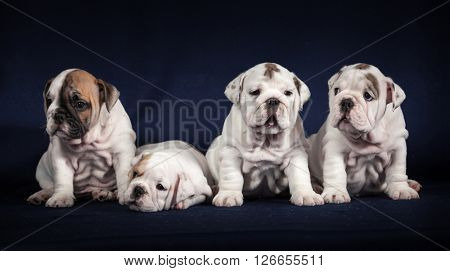 ENGLISH Bulldog puppys on dark background