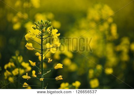 Yellow rapeseed flower field. Close up rapeseed flower.
