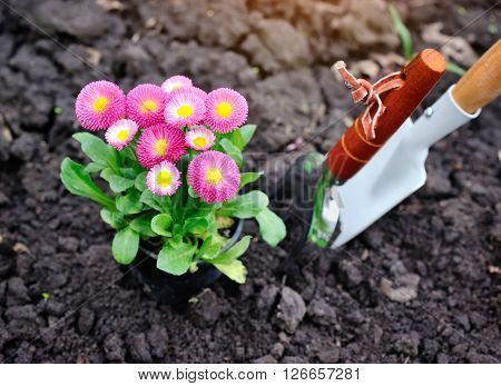 Beautiful marguerite flowers and garden tools. Top view