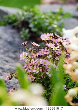 Pink Saxifrage Flower Landed On The Rock