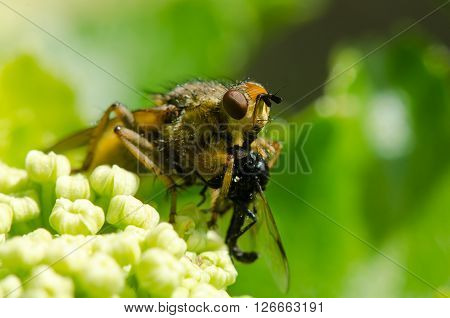 Yellow dung fly (Scathophaga stercoraria) with prey. Common fly feeding on small insect in order Diptera sitting on Alexanders (Smyrnium olusatrum)