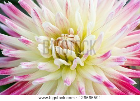 close up of white with purple chrysanthemum flower