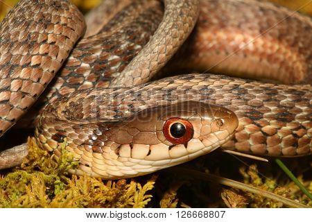 Baby Garter Snake (Thamnophis sirtalis) on moss in spring