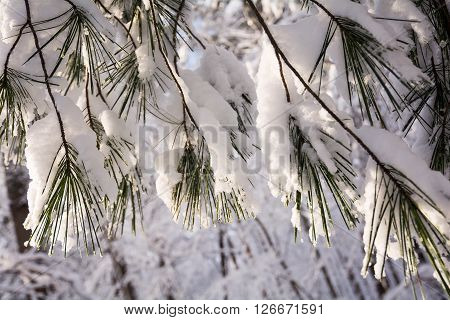 Closeup of pine needles covered in snow.