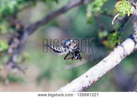 A macro shot of a robber fly hunyig a bee on the fly
