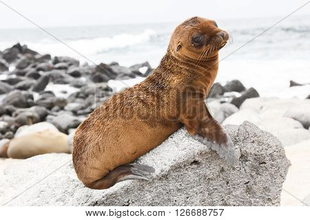 Baby sea lion on a rock drawing attention