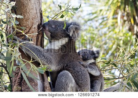 the koala and her joey are rclimbing a tree