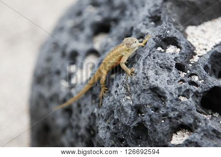 small lava lizard posing on a rock