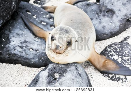 Female sea lion among the rocks, Galapagos