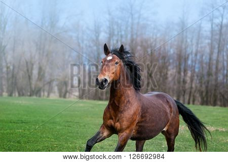 Beautiful bay horse with black mane galloping on the green field on a neutral background. Portrait of a mare in motion spring