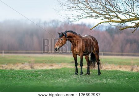 Beautiful bay horse with a long neck stands impressively on a green meadow. Mare on spring grazing on forests and   mist background