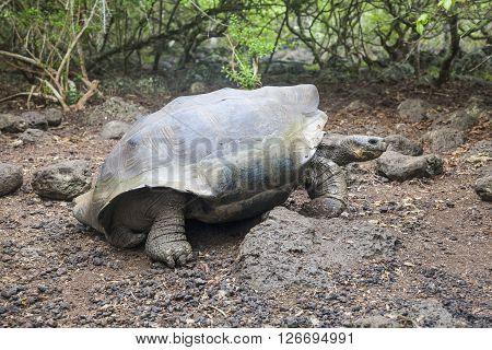 Galapagos giant tortoise on the island San Cristobal Enchanted Islands