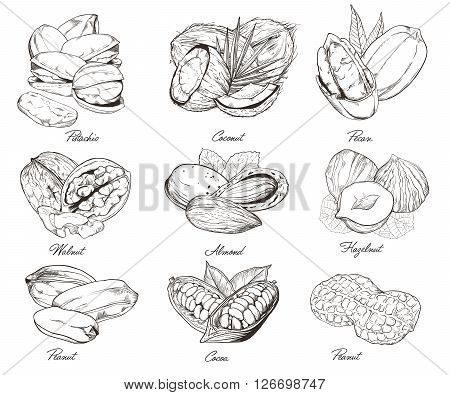 Isolated nuts on white background. Engraved bitmap illustration of leaves and nuts of pistachio, pecan, walnut, coconut, cocoa, hazelnut, almond, peanut. Set of mixed nuts.