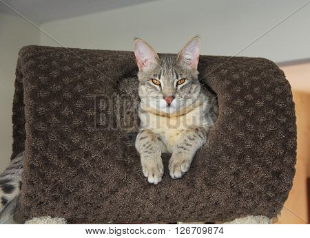 Savannah Cat. A large spotted and striped gray colored Serval Savannah kitten with golden orange eyes, resting on a cat tree inside.  This color is also known as a blue Savannah.  About seven months old.