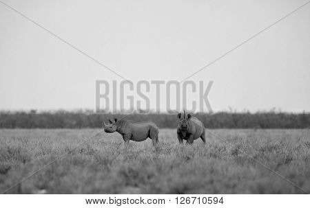 A monochrome landscape of a Black rhino and her calf. The mother looking this way while the calf looks away.
