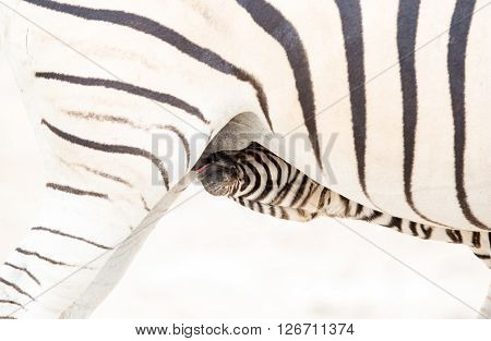 A close up of a baby Zebra drinking milk from under it's mother.