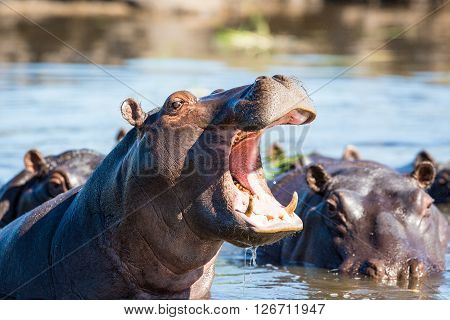 A Hippo standing in the water with it's mouth open and showing it's teeth.