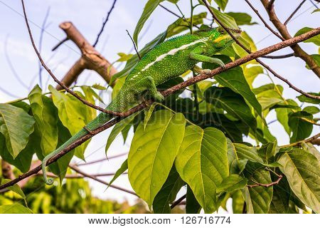 Chameleon sitting on a branch Ylang Ylang Madagascar