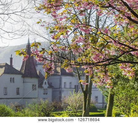 Chynadiyovo, Zakarpattia Oblast, Ukraine - April 16, 2016: Branches of cherry blossoms against the backdrop of the house hunting Count Schönborn of the 19th century spring morning.