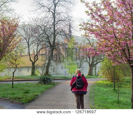 Chynadiyovo, Zakarpattia Oblast, Ukraine - April 16, 2016: Lonely tourist on the alley among the cherry blossoms against the backdrop of the house hunting Count Schönborn in the early morning spring.