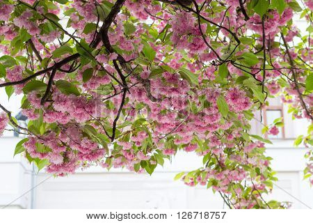 Branches of a japanese cherry tree with pink double flowers on a city street opposite of the house. City of Uzhgorod Zakarpattia Oblast Ukraine.
