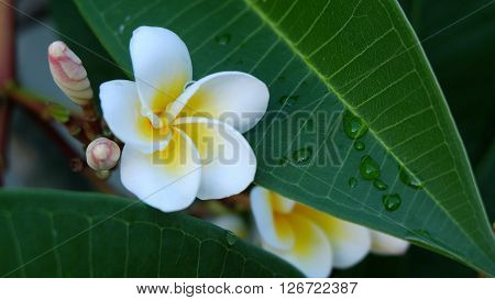 White Frangipani Tropical Flower, Plumeria Flower Fresh Blooming On Tree, Spa Flower With Rain Water