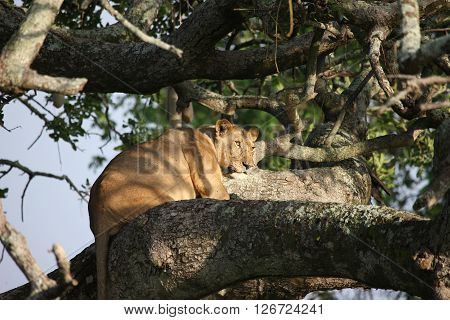 Female Lion On Tree Wild Dangerous Mammal Africa Savannah Kenya