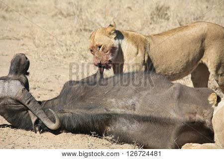 lion eating bull in blood after hunting wild dangerous mammal