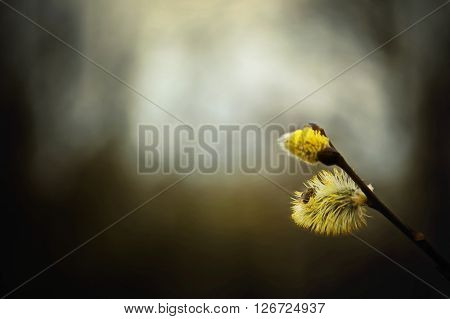 Spring Branch Of Fluffy Willow With Buds And Little Bee Sitting On One