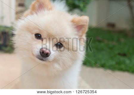 Pomeranian Small Dog Cute Pets Friendly In Home
