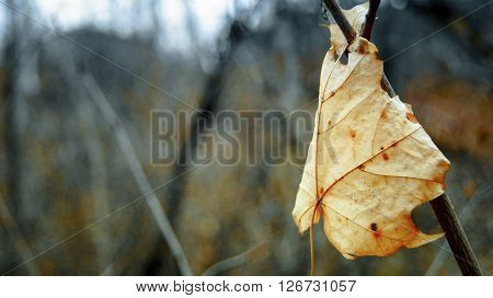 Autumn maple leaf caught in the branches of a Bush.